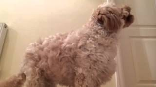 Download Cavapoo Tricks with Cookie Video