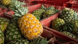 Download Ghana SDF: Pineapple Experts Bring Skills to Ghana's Pineapple Belt Video