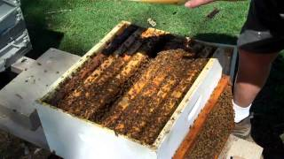 Download Honeybee Colony ReQueening New Method DurhamsBeeFarm Video