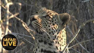 Download safariLIVE - Sunset Safari - October 21, 2018 Video