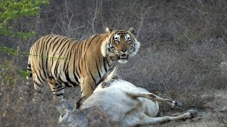 Download TIGER attacked a cow outside ranthambore national park Video