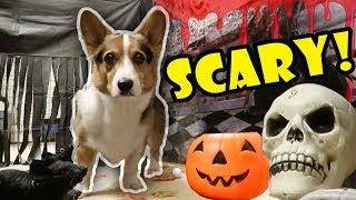 Download Corgis Haunted Halloween Tunnel Video