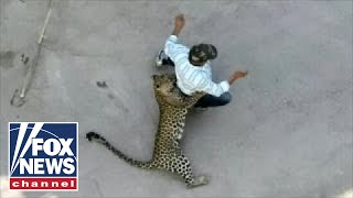 Download WILD video: Leopard attacks residents in Indian city Video