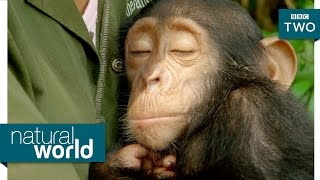 Download Orphaned baby chimp bonds with carers - Natural World: My Congo Preview - BBC Two Video