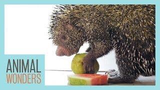 Download Porcupine Eats Fruit Video