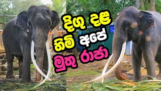 Download Tusker Muthu Raja - Elephant Has Longest Tusks - Sri Lanka Video