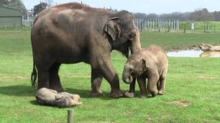 Download 2 Week Old Asian Elephant Calf @ ZSL Whipsnade Zoo Video