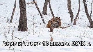 Download АМУР И ТИМУР 10 ЯНВАРЯ 2018 г. Video