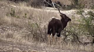 Download Djuma: Nyala bull - 13:41 - 10/18/18 Video