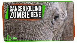 Download A Zombie Gene Keeps Elephants from Getting Cancer | SciShow News Video