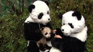 Download 10 Perfect Panda Stories in Honor of Bao Bao | ABC News Remix Video