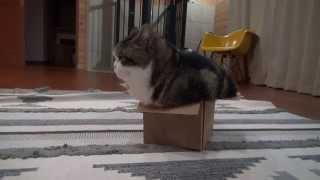 Download いろいろな入り方をするねこ。 -Maru gets into the same box with various styles.- Video