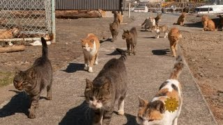 Download Cats take over Japanese island Video