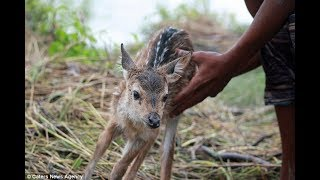 Download When He Saw This Baby Deer Floating Down A Swollen River , He Knew He Had To Do Something And QUICK. Video