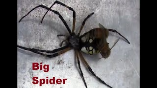 Download Honey bees attacked a big garden spider. Video
