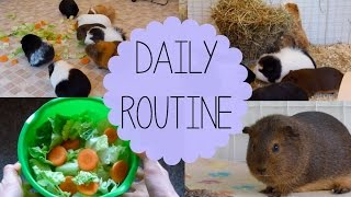 Download Daily Guinea Pig Routine | Spring 2015 Video