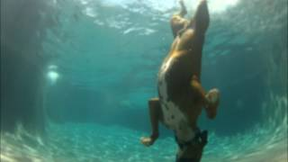 Download Pool diving Boxer dog, he swims under water! Video