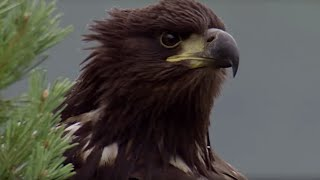 Download Young Eagle Learns how to Fly | BBC Earth Video