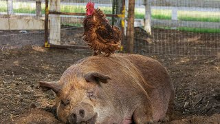 Download The Biggest Little Farm - Trailer - SFF 19 Video