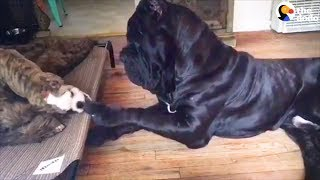 Download Huge Dog Is So Gentle With All His Siblings   The Dodo Video