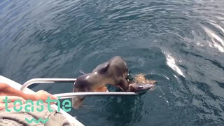 Download Injured Sea Lion Pup Jumps Onto Boat in California Video