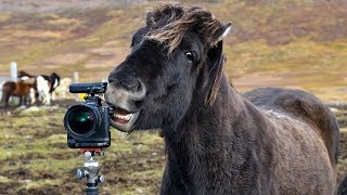 Download Wild Iceland - Traditional Horse Muster Video
