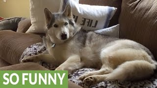 Download 6 Huskies Guaranteed To Make You Laugh Video