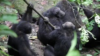Download Chimpanzee group aggression against alpha male (UPDATED) Video