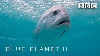 Download Bird is eaten by giant fish - Blue Planet II: Episode 1 Preview - BBC One Video