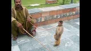Download Talented Monkey Video