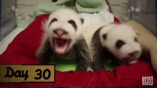 Download Panda Cubs 2016: A 30 Day Retrospective Video