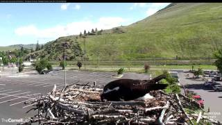 Download Louis Gets Blown Off the Nest on the Hellgate Osprey Cam – May 24, 2017 Video