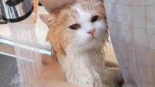 Download 목욕하기 싫은 고양이, 평화롭게 목욕시키는 법 Video