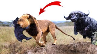 Download Great! Mother Buffalo rescue success newborn Buffalo from the king Lions,15 Wild Dogs vs 3 Lions Video