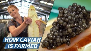 Download How Russian Sturgeon Caviar Is Farmed and Processed — How To Make It Video