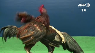 Download Feathers fly over Thailand's lucrative cockfighting pits Video