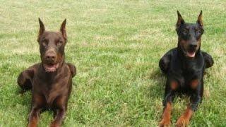 Download Les chiens de garde Video