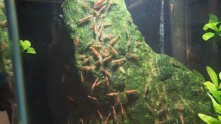 Download Cherry Shrimp How to Make Money [Shrimp Breeding] 🦐 Video