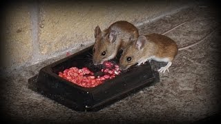 Download Watch Rodents eating poison - How to get rid of mice and rats in the home Video