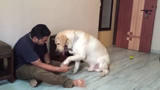 Download Labrador Video Short film - Chaddi Buddy Video