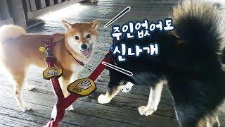 Download 주인이 3일동안 없으면 강아지는 시무룩해질까? / 일본 펫페어 구경 / 시바견 곰이탱이 / shibainu Video