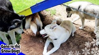 Download Five Huskies Playing Together | Dirt right in the Face Video