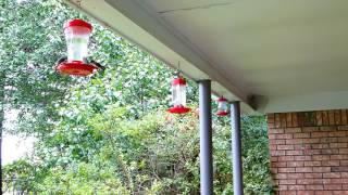 Download Hummingbird Feeder Party!! Lots of birds on 3 feeders! RAW VIDEO! Video