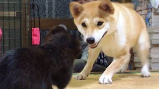 Download 柴犬もも 子猫がうちにやってきた Shiba Inu and a kitten Video