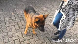 Download 11 Hundetricks mit Schäferhund Video