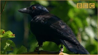 Download Are crows the ultimate problem solvers? - Inside the Animal Mind: Episode 2 - BBC Two Video