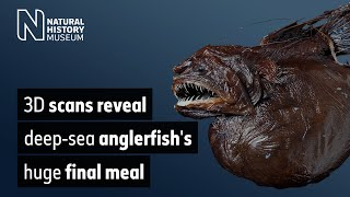 Download 3D scans reveal deep-sea anglerfish's huge final meal | Natural History Museum Video