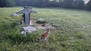 Download Deer chasing a Coyote Video