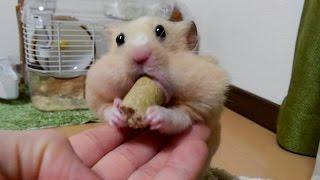 Download 【ハムスター】やばい!目が飛び出る!?おもしろ可愛い癒しFunny hamster with a distinctive eye Video