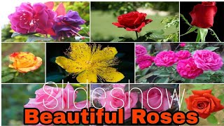 Download Beautiful Roses Pictures Video